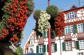 Die zwölfte Chrysanthema steht kurz bevor