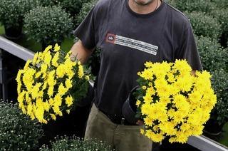 Die Chrysanthema hat einen Markt geschaffen