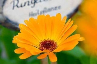 Die Ringelblume - Heilpflanze des Jahres 2009