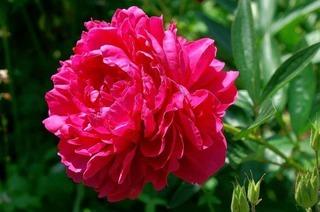 Pfingstrose: Rechtzeitig zum Fest öffnen sich ihre Blüten