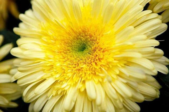 Die Chrysanthema 2010 soll ein