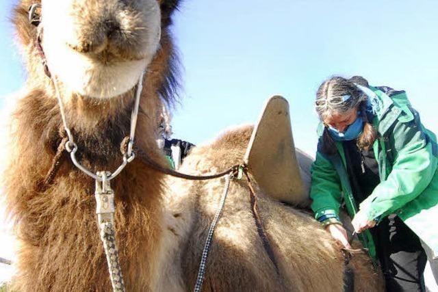 Kamelreiten: Gesattelte Höckerträger