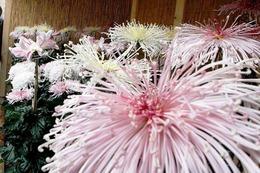 Fotos: Das Eröffnungswochenende der Chrysanthema