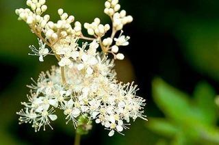 Pflanzliches Aspirin: Echtes Mädesüß