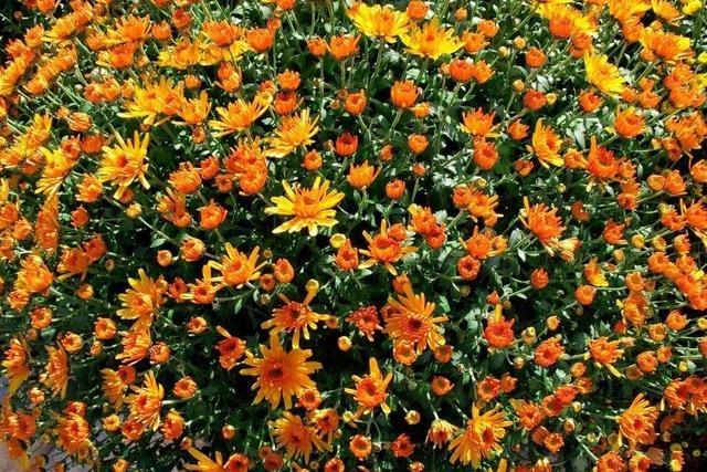 Fotowettbewerb zur Chrysanthema in Lahr