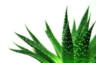 Echte Aloe: Entzündungshemmer und Schönheitselixier