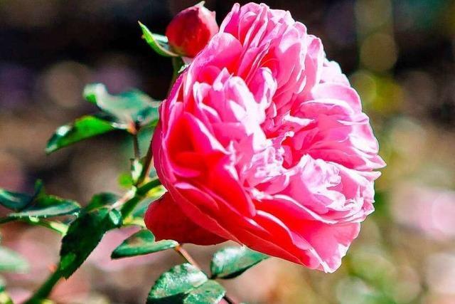 Die Rose: Liebling der Götter und Heilmittel