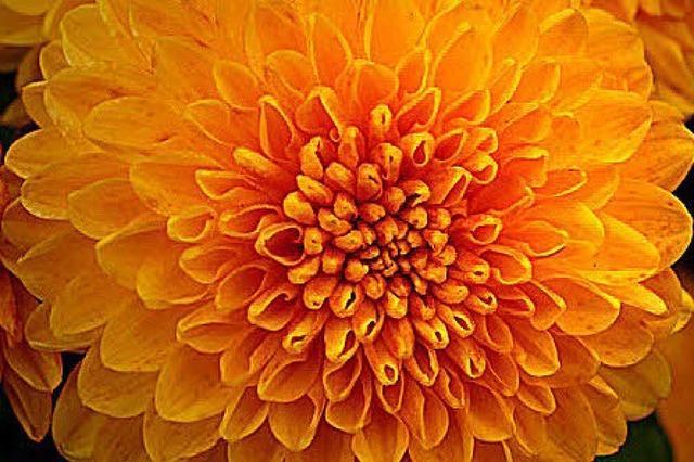 CHRYSAN-THEMA: Blumen bereiten Freude
