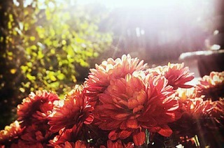 Ein Filter für die Chrysanthema