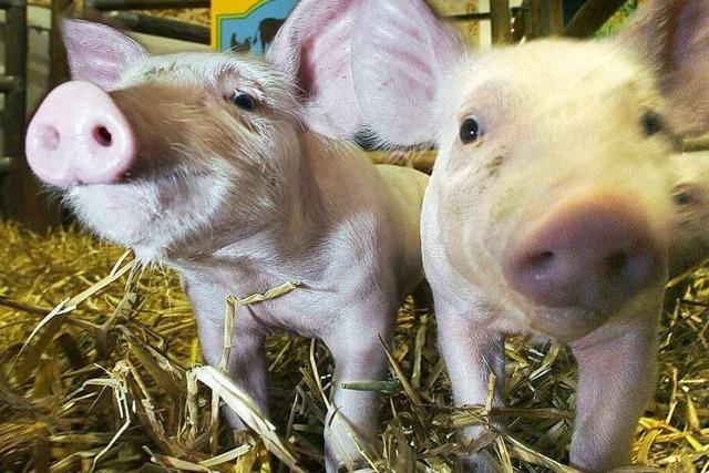 Besuch auf dem Bauernhof: Wenn Stadtkinder Schweine schrubben