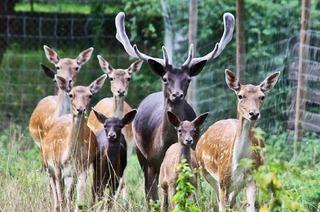 Damwild-Tiergehege im Rheinwald