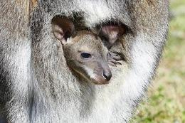 Fotos: Känguru-Baby auf der Fancy-Farm in Kirchzarten