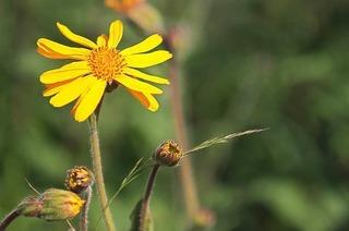 Achillea-Heilpflanzengarten