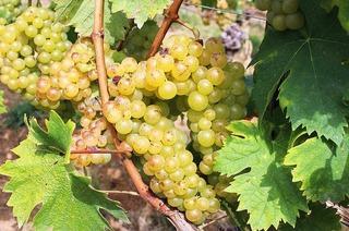 Weingut Heinemann am Batzenberg