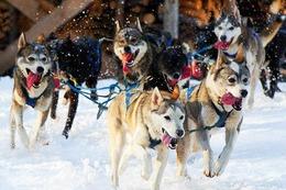 Fotos: Schlittenhunde in Todtmoos