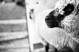 Schwarz-Weiß-Fotos: Viehabtrieb der Erlenbacher Weidegenossenschaft