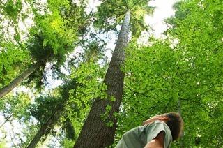 Waldtraut (höchster Baum Deutschlands)