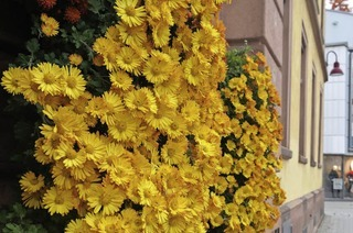 CHRYSAN-THEMA : Gelb oder doch bronze?