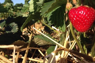 Selbstpflücker-Erdbeerfeld Keidelbad