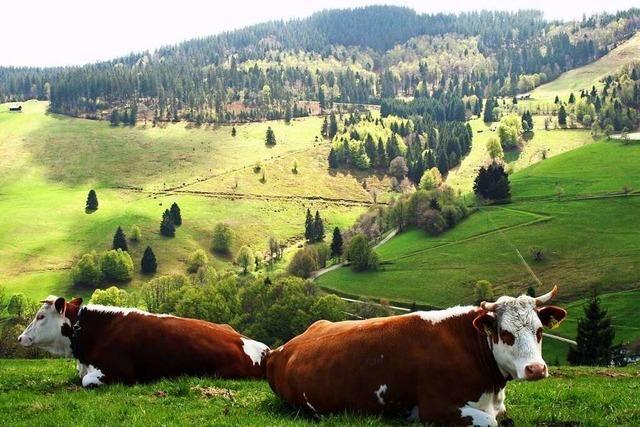 Die Allmendweiden im Schwarzwald sind prägnant