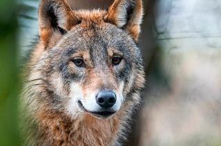 Wolfsweg an der Schweizer Grenze soll Touristen locken