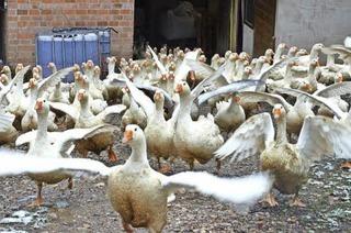 Auf dem Heinehof in St. Ulrich wachsen 300 Gänse auf, bis sie im Spätjahr geschlachtet werden