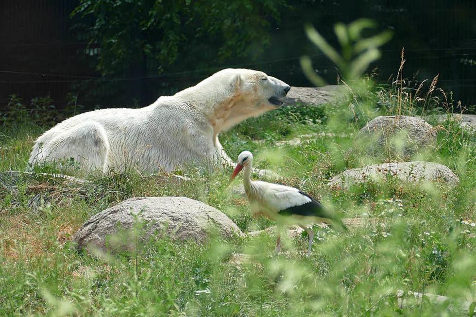 Zoo Mulhouse: Obst essen mit dem Eisbär - Badische Zeitung TICKET