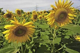 Das Sonnenblumenlabyrinth eröffnet