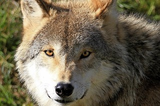 Auf den Spuren der Wölfe am Feldberg