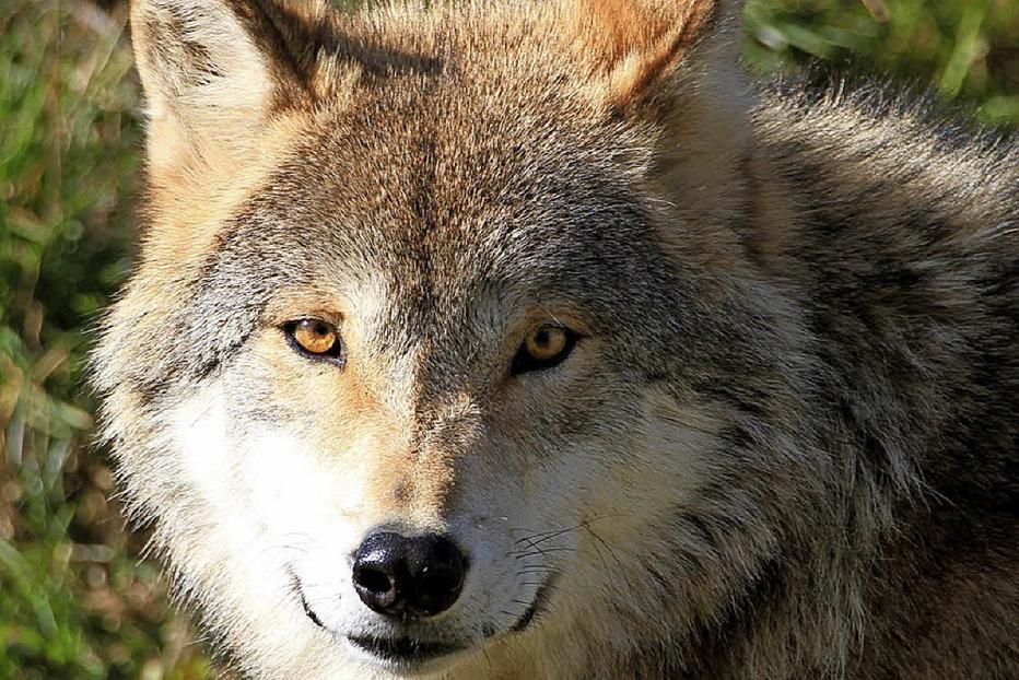 Auf den Spuren der Wölfe am Feldberg - Badische Zeitung TICKET
