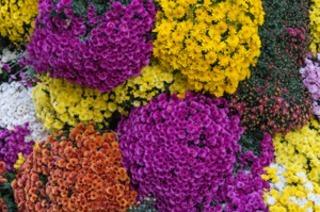 Die Chrysanthema in Lahr beginnt