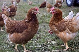 Mobiler Hühnerstall Huhn im Glück