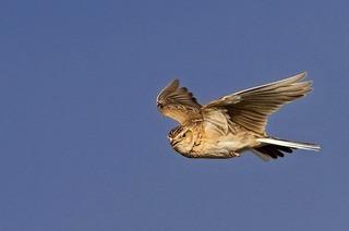 Vierter Vogel-Tag steht im Zeichen der Feldlerche