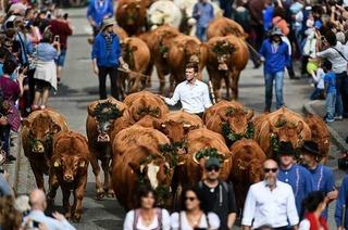 Der Viehabtrieb ist ein Höhepunkt der Alemannischen Woche