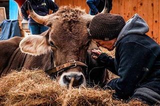 Der Dokumentarfilm zum ersten Kuh-Altersheim kommt ins Friedrichsbau-Kino