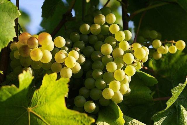 Ohne die Rebenveredlung gäbe es heute keinen Weinbau in Europa