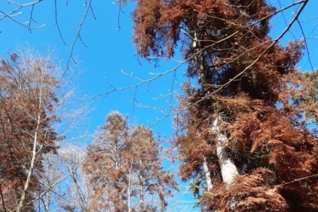 Forstbezirk Hochschwarzwald lässt tote Tannen als Klimadenkmal stehen