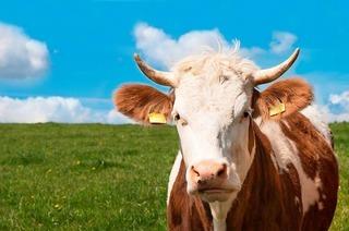 Was es bei Begegnungen mit Kühen zu beachten gilt