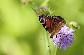 Im Naturschutzgebiet Feldberg gibt es Schmetterlinge zu entdecken